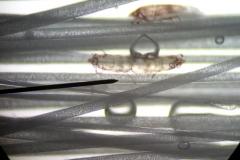 Chirodiscoides-caviae